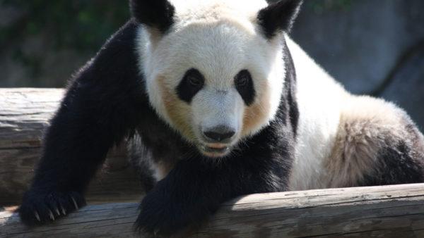 Ga de panda's en baby panda bekijken in Pairi Daiza