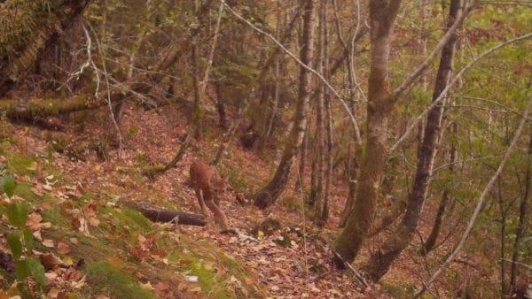 De Lynx is na 200 jaar terug in de Ardennen
